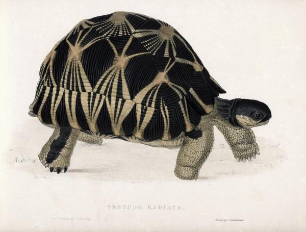turtle_scientific_illustration2_thumb