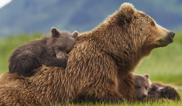 Mama-bear-and-cubs