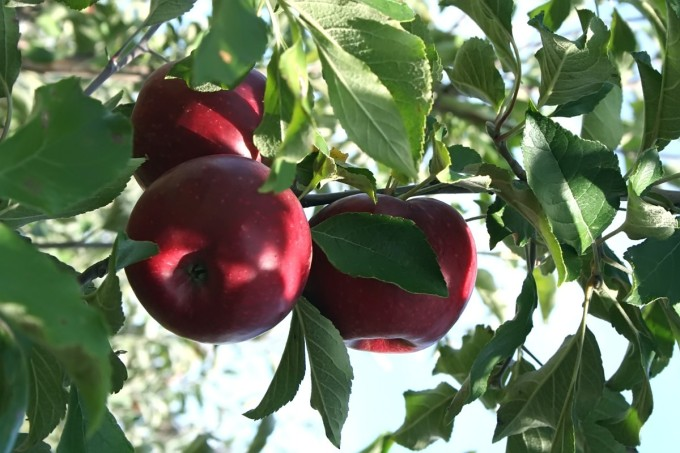 Apples_in_Tree