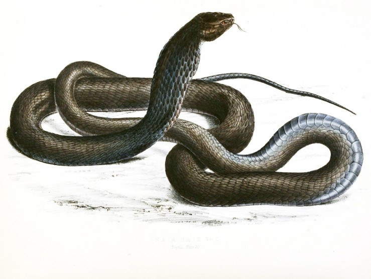 animal-reptile-snake-black-cobra-african