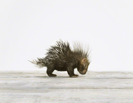 Baby Porcupine_Baby Animal Photography Prints